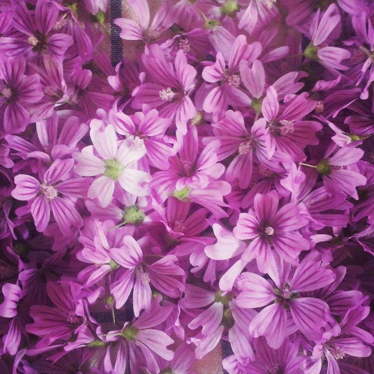 Meravigliosa Malva #purple #flowers