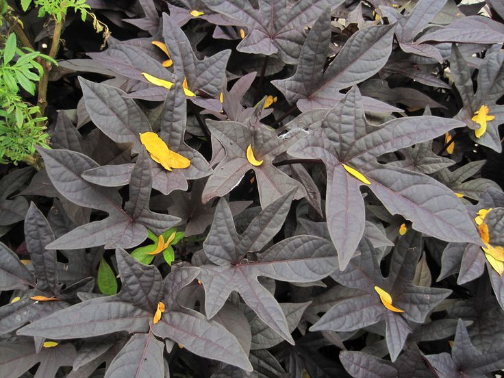 The ornamental sweet potato plant is different from its vegetable sibling. While it does produce edible sweet potato tubers, the ornamental variety bears more colorful foliage, making it a popular houseplant. Learn more here.
