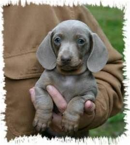 Dapple Dachshund with Blue Eyes - Bing Images