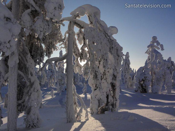 Inverno em Rovaniemi na Lapônia: Árvores cobertas de neve em Ounasvaara
