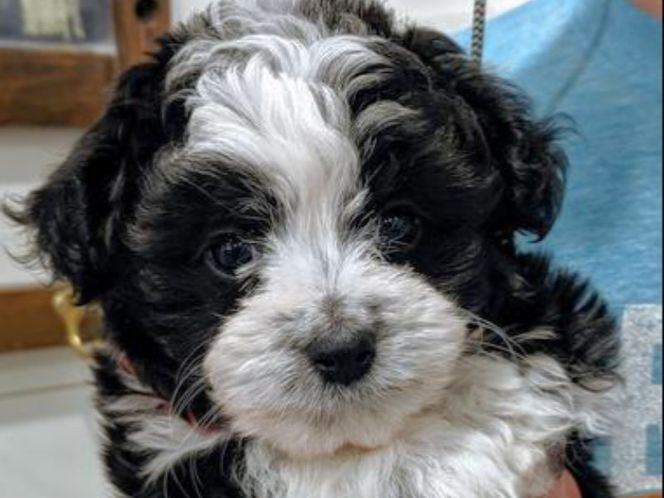 Teacup Aussiedoodle Puppy Ready Today Puppies Aussiedoodle Salt Lake City Ut