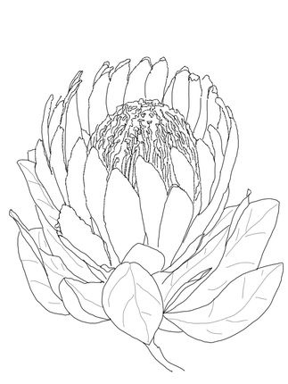 Click to see printable version of Protea Flower coloring page