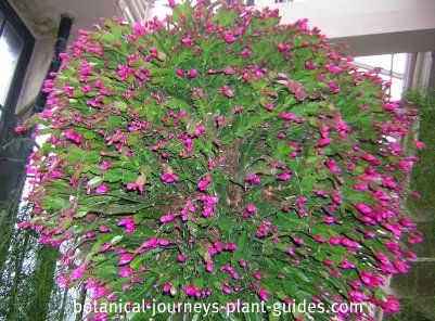 large succulent plants | Christmas Cactus Care, How to Get a Zygocactus Plant to Bloom