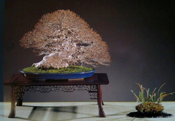 les 25 meilleures id es de la cat gorie bonsai erable sur pinterest bonza petite araign e. Black Bedroom Furniture Sets. Home Design Ideas