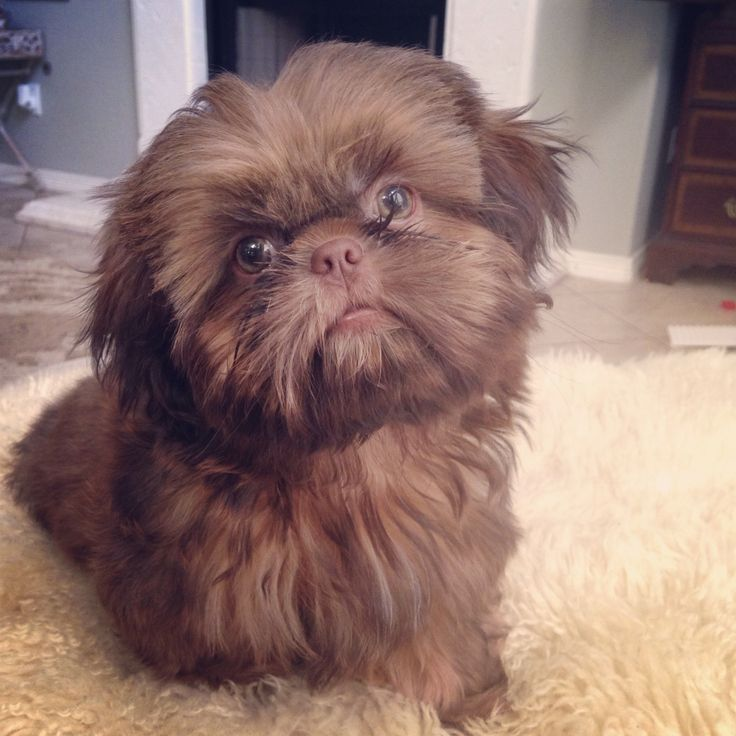 My little liver shih tzu! Chewbacca