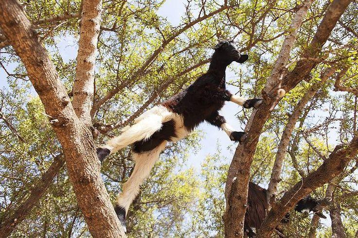 Marokossa vuohet viihtyvät Argan puissa nautiskelemassa sen hedelmistä. #Aurinkomatkat #Morocco
