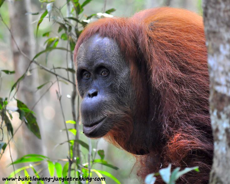 We arrange Jungle Trekking Tours through the Rainforest of Gunung Leuser National Park in Bukit Lawang,Sumatra, to see the sumatran orangutan in the wild....a memorable and unique experience into sumatra paradise!