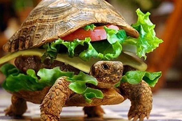 Disfrazó a su tortuga de hamburguesa para viajar en avión