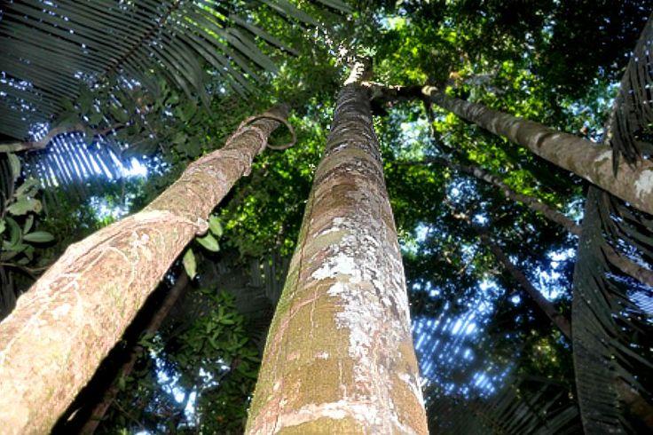 Warum ist Copaiba-Öl so wertvoll?  #Copaiba_Öl #Copaiba_Öl_Wirkung #Naturkosmetik #Blog
