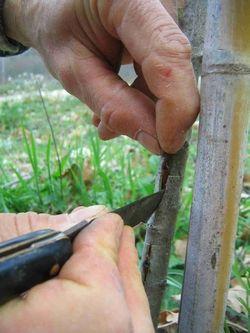 #GIARDINAGGIO INNESTO A GEMMA  L'innesto è una tecnica molto praticata soprattutto dagli agronomi che permette di unire due individui vegetali allo scopo di ottenerne uno che riunisca in sé i pregi del progenitore  http://www.giardinaggio.it/giardinaggio/tecniche-di-giardinaggio/innesto-a-gemma.asp#ixzz3ObPPOPzX