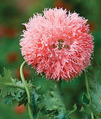 So pretty! Venus Poppies, in a pretty salmon-pink color.  Love these.