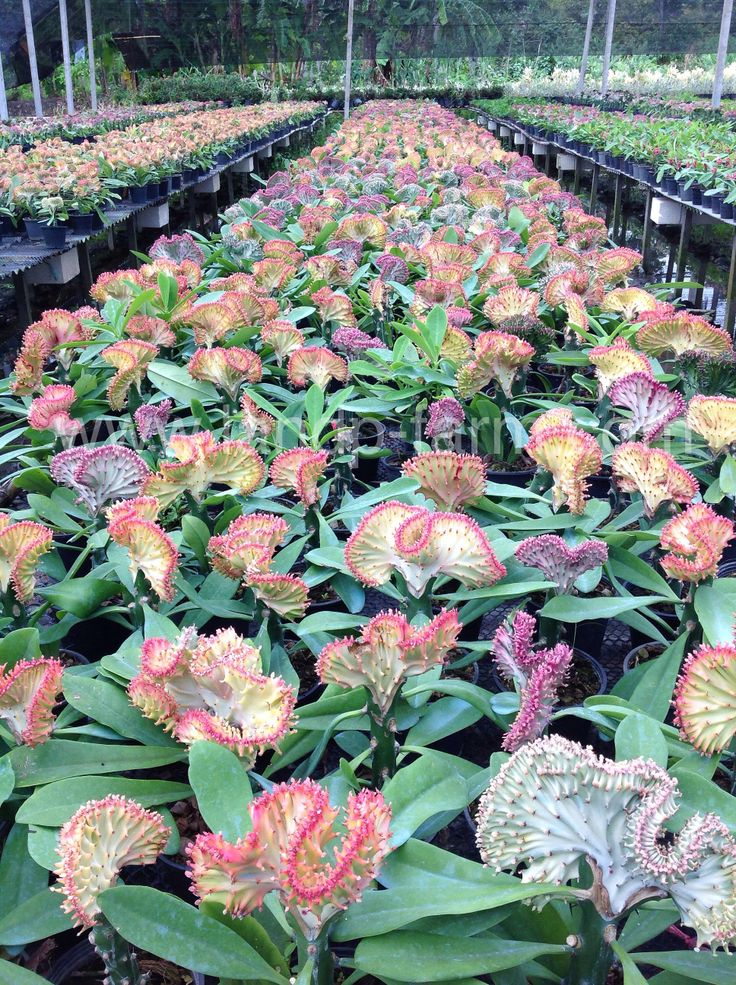 Euphorbia Lactea (Coral cactus) in our farms. We can export by Air freight (Air cargo) and Sea freight.