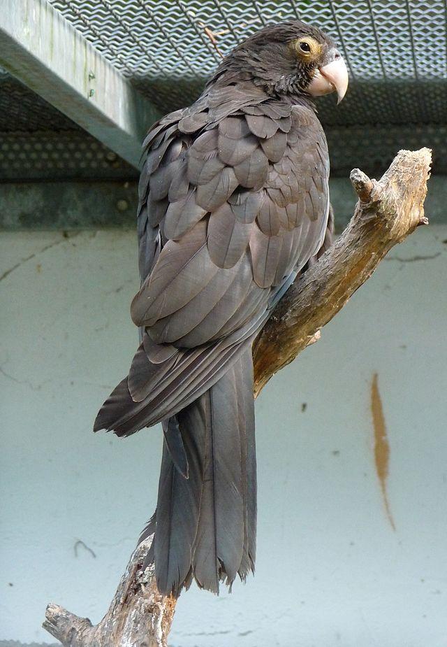 Perroquet vaza