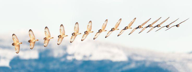 1000 Ideas About Short Eared Owl On Pinterest Great