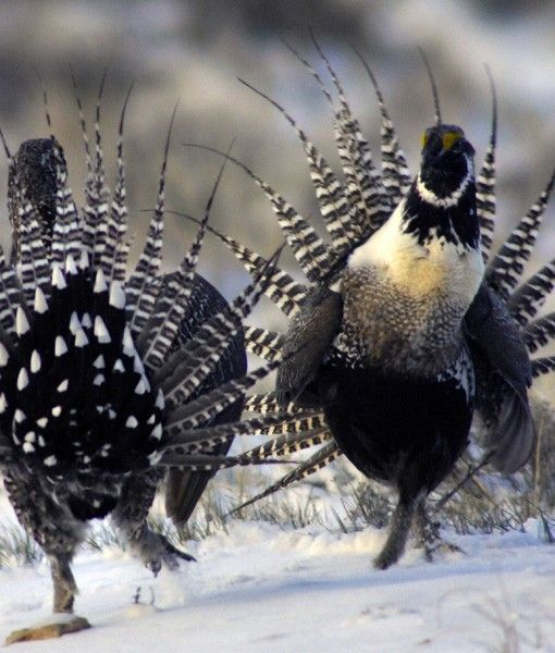 Gunnison Sage Grouse is the most biologically endangered bird species in continental North America - endemic to U.S.A.