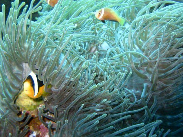 #clownfish #maldives #scuba #diving