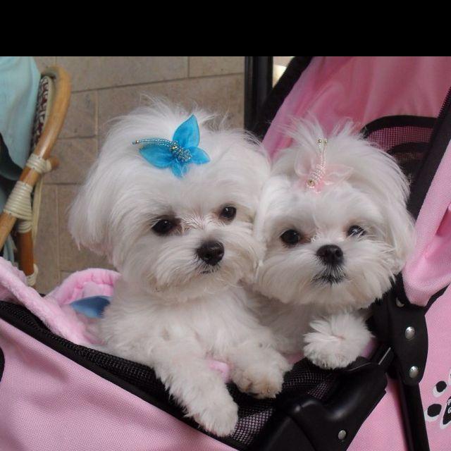 Teacup Maltese they are sooo cute!!!!!! #teacupdogslist #teacupdogs…