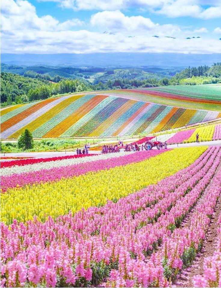 Farm Tomita, Hokkaido, Japan