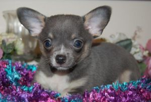 chihuahua and asthma 78 best images about blue chihuahuas on pinterest 4591