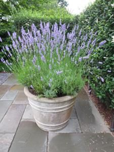 Lavender's natural habitat is the hot, sandy soil of Provence- so if you forget to water your plants, they're even happier!  If you don't have room for a garden, maybe you can find a little space for a pot of lavender near your front door.  Every time you brush by it, you'll have the fabulous scent of Provence in the air.