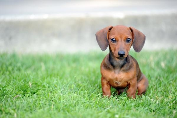 babyWeenie Dogs, Baby Baby, Diamonds Rings, Baby Dogs, Weiner Dogs, Wiener Dogs, Baby Dachshund, Baby Puppies, Hot Dogs