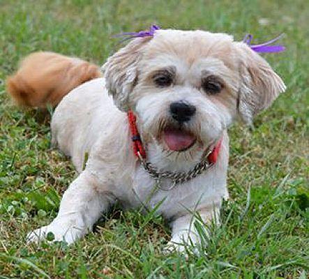 Indianapolis In Shih Tzu Meet Tierney A Pet For Adoption Pets Pet Adoption Shih Tzu