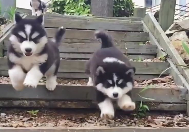 These Husky puppies taking the stairs is HILARIOUS...