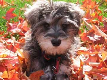 i just love schnoodles....i want one!! how could you NOT LOVE that face!!