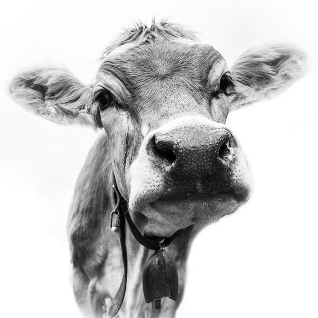 Schweizer Kuh  Swiss cow Fotografie Günter Lenz -Gibt das Bild auch in meinem K… – Günter Lenz