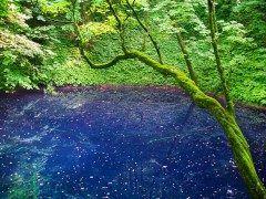 青森県西津軽郡深浦町にある青池は江戸時代の大地震によって発生した山崩れによってできた池のひとつです 崩山から見て十二の湖沼があったことから十二湖と呼ばれるようになりました 青池はその中でも特に青みの強い池でその鮮やかさはまるでインクを流したような青色と比喩されるほどです  是非この神秘的な光景を生で見てください  tags[青森県]