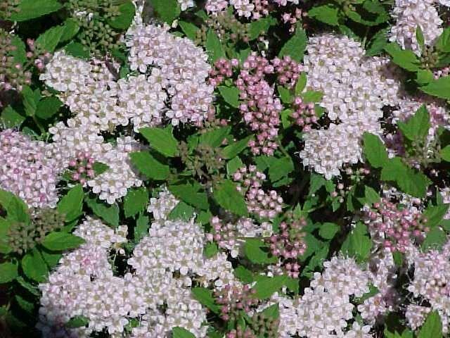Rosaceae. Spiraea japonica 'Little Princess'. deciduous, hardy, dependable shrub