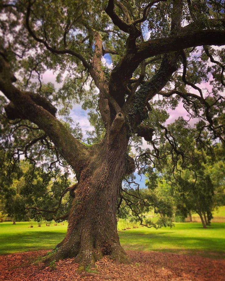 louisiana unitedstates vacherie lauraplantation tree