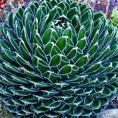 Agave victoriae-reginae    One of the most popular species. Beloved for its small size ― 18 inches across ― and beautifully marked dark green leaves.