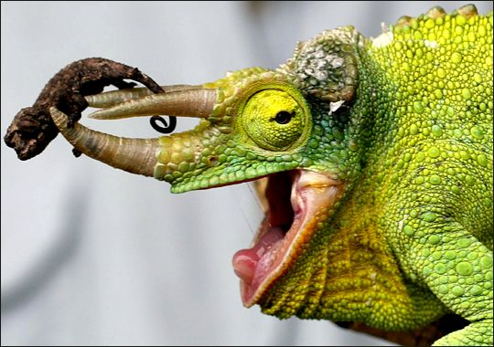 The Jackson's chameleon is also called a Three-horned Chameleon because males have three brown hornsone on the nose and one above the ridge on each eye. Description from creepychameleons.wikispaces.com. I searched for this on bing.com/images