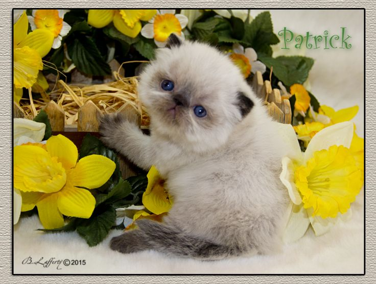 Himalayan Kittens - Persian kittens, Blue Eyed White Persian Cats, Himalayan kittens, Exotic kittens, Furrbcats
