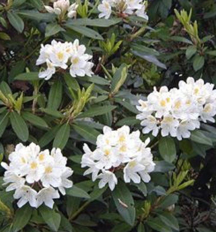 4 X4 6 Rhododendron Large Leaf Chionoides Full Sun To Part