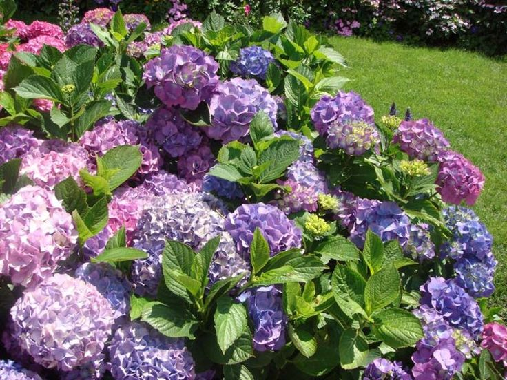 hydrangeaGardens Ideas, Shades, Endless Summer, Colors, Plants, Front Yards, Beautiful Flowers, Flower Beds, Hydrangeas Bush