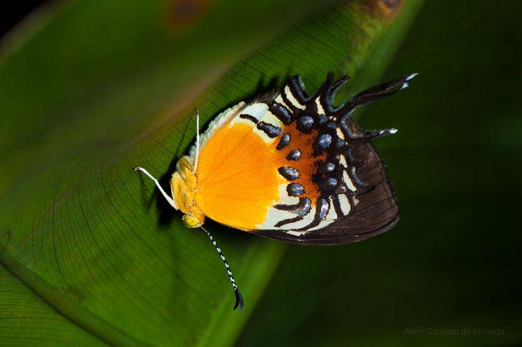 https://flic.kr/p/fVtwwH | Borboleta Helicopis gnidus | Marcelandia - MT