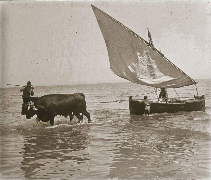 Playa de la Malvarrosa, barca tirada por bueyes, (pesca del bou), 1922. Fotografía de Francisco Roglá López, (1894-1936). Colección de fotografías de Valencia.. Donación Familia Roglá.