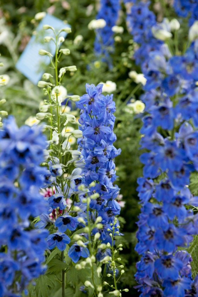 Delphiniums in the Enid A. Haupt Conservatory