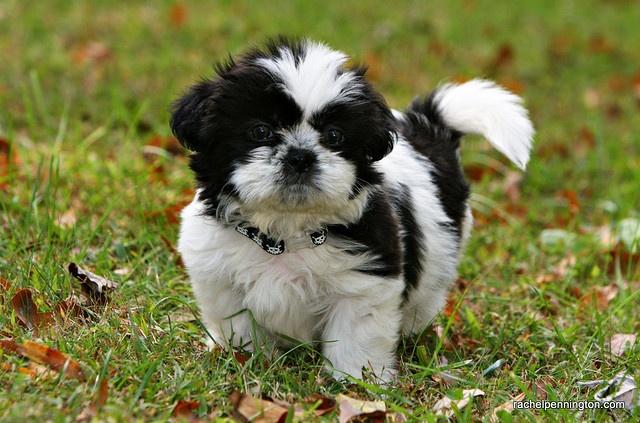 Meet Humphrey Dogs Pinterest Japanese Chin Shih Tzu And Dogs