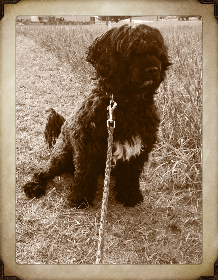 Torrid Zone Portuguese Water Dog 163 best images...