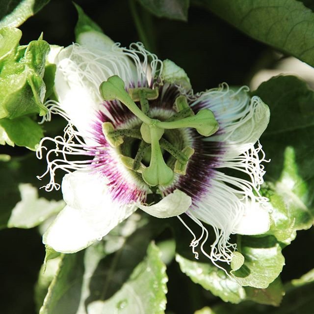The beautiful passionfruit flower. #passionfruit #aussiepassionfruit #flower #farming #aussiefarming #spencerranch #bundaberg #carterandspencer