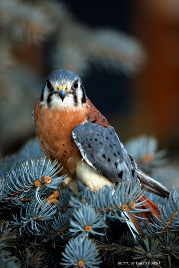 American Kestrel: I've had a pair of them in my backyard all summer, fascinating to watch them hunt from a dead tree branch!
