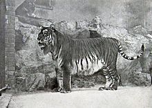 The Caspian tiger, also known as the Hyrcanian tiger and the Turan tiger. Felt to be extinct since the early 1970s