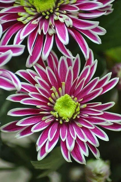 """Ook @island zen Too Chrysanthemums  heeft Pinterest ontdekt en kiest voor een bord per produkt. Dat is jammer want het is veel interessanter een bord """"onze produkten"""" te maken. Zo vul je het bord veel sneller en maak je de pagina interessanter. Weinig mensen bekijken borden met minder dan 50 pins. Originele tekst: """"Chrysanthemum Saba (foto by Jenny Furr)"""""""