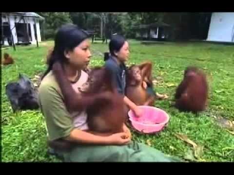 SHOCKING CRUELTY: Orangutan Prostitutes in Borneo - YouTube PLEASE WATCH!!! PLEASE SHARE! PLEASE HELP. !!!!!!