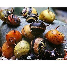 5 Horned Nerite fresh water aquarium Snails