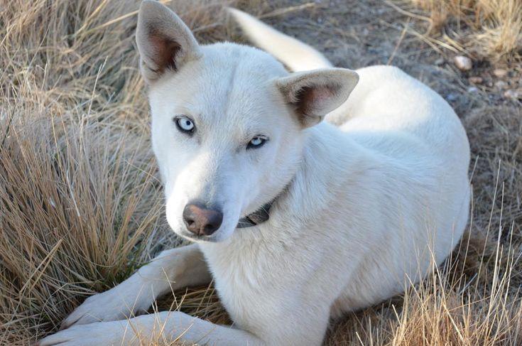 1000  ideas about husky wolf mix on pinterest