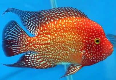 Aquariumfish further 1121733491 together with Cichlid Chart also Jaguar Cichlid Teeth additionally Frequently Asked Questions On Parrot Cichlids. on oscar cichlids and a flowerhorn